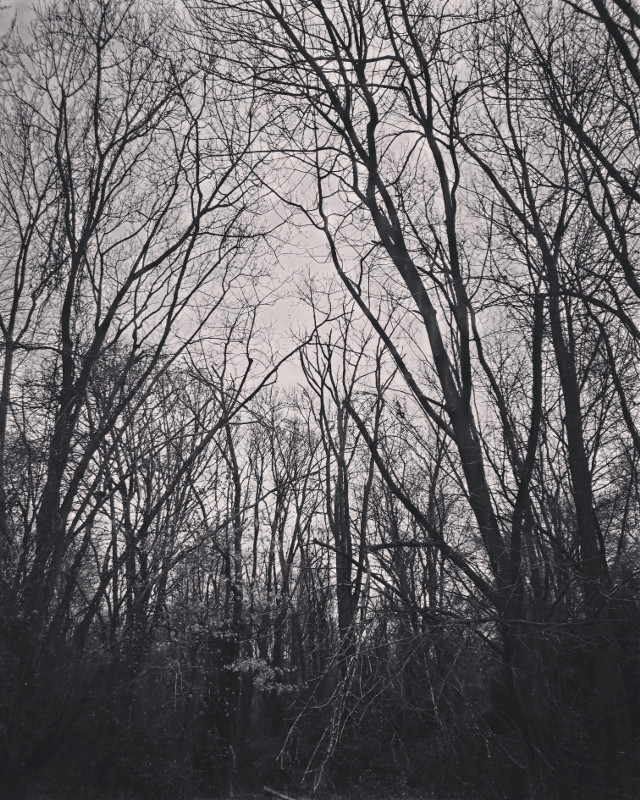 Spooky woods #ChangeOfSeason #Winter #LowAngleView #Vegetation #Foliage #Trees #Massive #Giant #Vintage #leavesfalling #bare#no people around #ColdWeather #Monochrome #Black-and-whiteShot #Desktop #FullFrame #MyPhotography #iPhone8Plus #CameraFilters #EditWithQuickshot