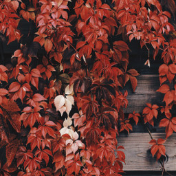 freetoedit autumnvibes woodenfence climberplant autumnleaves