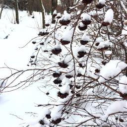 photography nature winter bush snow freetoedit