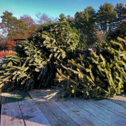 christmastrees freetoedit sunnyday farm holidayspirit pcchristmasmarket
