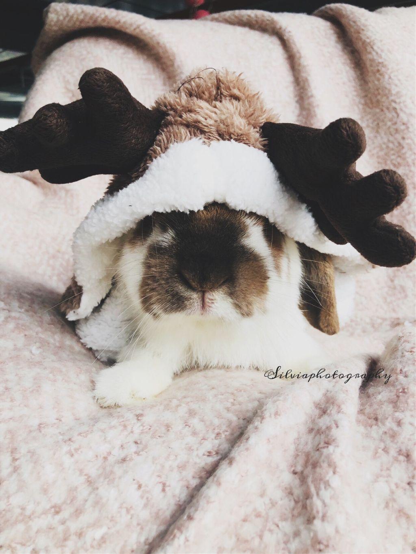 Meet Rudolf ♥️🦌 #rudolfrendier #rendier #cute #bunny #bunnystagram #christmas #christmastime #wintercoming #cutebunny #lovebunnies #pets #sweet #toocute #ilovebunnies #photography #photographer #myrabbit #polishgirl