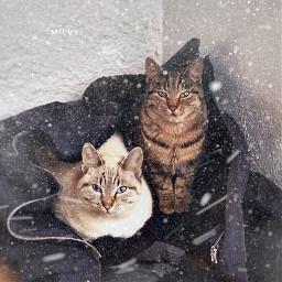 tigna cimurro snow winter cats freetoedit