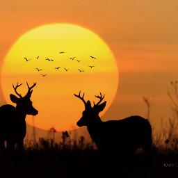 freetoedit deer deers nature sunset