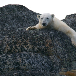 bear polarbear animal animals cute freetoedit