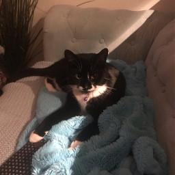 freetoedit cat tuxedocat tuxedo black