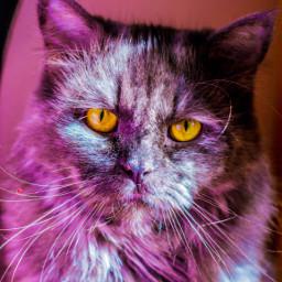 cat color eyes petsandanimals mypet