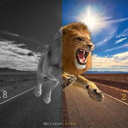 freetoedit road power lion blackandwhite