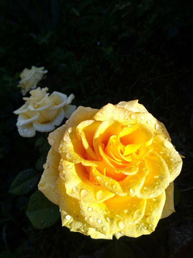 #nature #flowers #roses #freetoedit