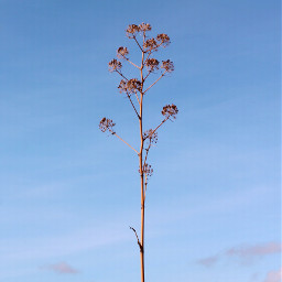 freetoedit nature earlymorning driedwildplant inthecenter