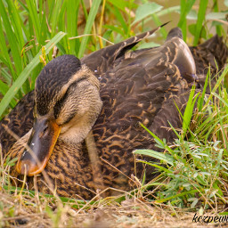 duck colors myphotography grassy oldfriends