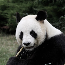 panda cute animal animals pandas freetoedit
