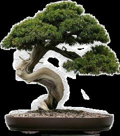freetoedit bonsaitree bonsai sticker