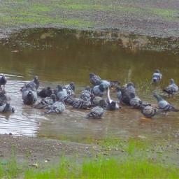 photography dove birds nature mumbai