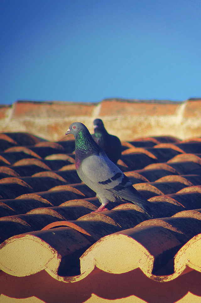 #freetoedit  #petsofpa #pigeons on the #rooftop #terracotarooftiles #shingleroofing #earlymorninglight #bluesky #urbannaturephotography