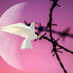 freetoedit barbedwire dove peace moon