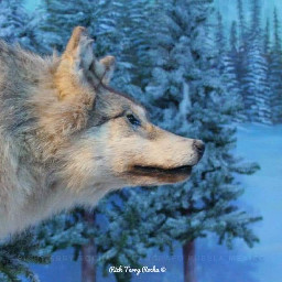 wolf wolfes photo photooftoday photographer pcdominantlyblue