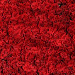 rose roses flowers background backgrounds freetoedit