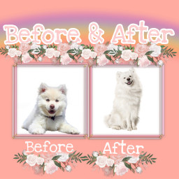 freetoedit beforeandafter before&after dog whitedog irchairdo