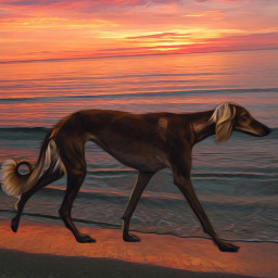 saluki sighthounds beach sunset