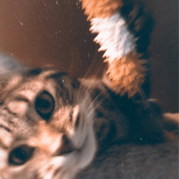 cat playful catsofpicsart tabby