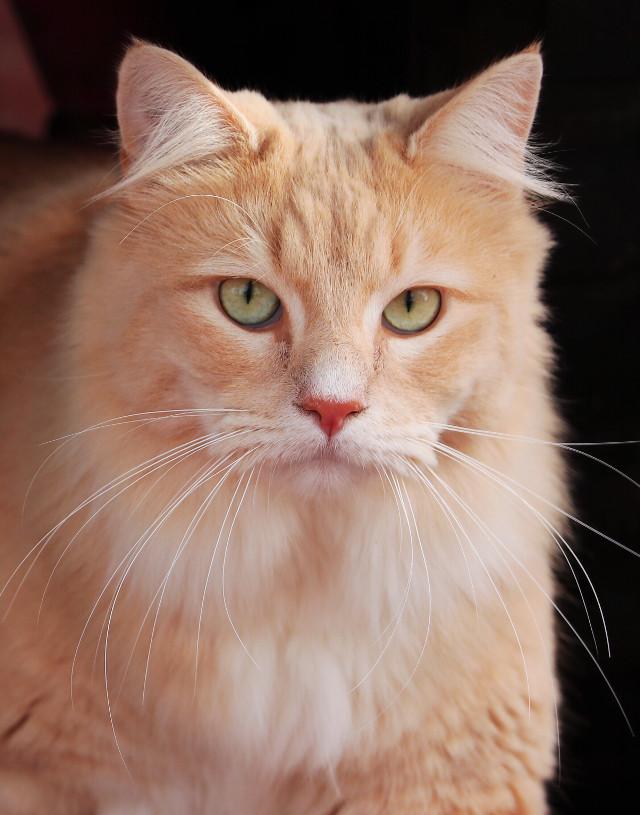 #cat #kitten #meow #animal #eyes #fur #feline #orange #tabby #tabbycat #green #white #whiskers #portrait #freetoedit #pchappypetday #pceyes #pcmypetsbestportrait