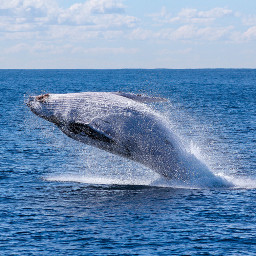 whale whales ocean nature freetoedit