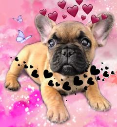 bulldog frenchbulldog