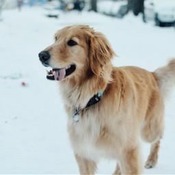 snow seattle dog goldenretriever washington freetoedit