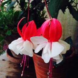 flower fuschia homeplants pcmyplants myplants