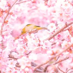 freetoedit sakura bird cherryblossom cherryblossoms