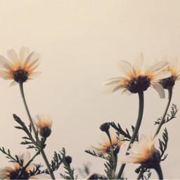 freetoedit nature flowers wildflowers simpleflowers