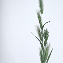 pcgreenminimalism minimalism wildplants nature greenwheat freetoedit