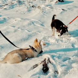 myphotography puppies playing dogs husky freetoedit