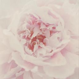 freetoedit nature flowers peony softaesthetic