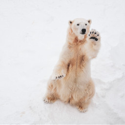 bear polar polarbear cute animal freetoedit