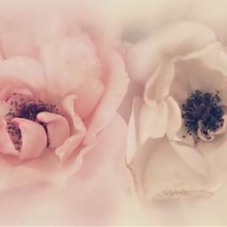 freetoedit nature flowers naturesbeauty wildroses