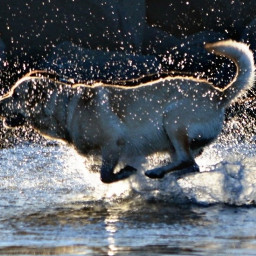 dog running sea dropsofwater sunset