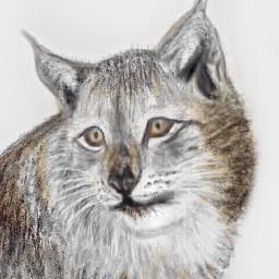 dcwildanimals wildanimals wildcat nature wildanimal