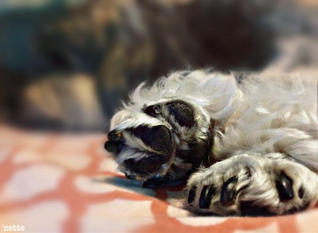 #freetoedit #puppygirl #friendsdog #lowchen #myoriginalphoto