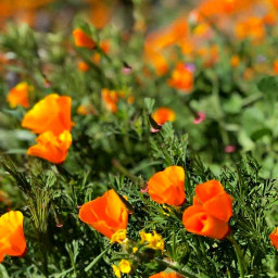 freetoedit poppies naturephotography flowers springvibes