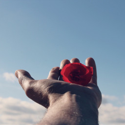 pcflowerinhand flowerinhand myhand redrose skyandcloudsbackground freetoedit
