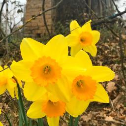 freetoedit spring springtime narcissus flower