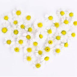 daisy flower flowers background backgrounds freetoedit