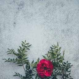 freetoedit gray wall leavs rose