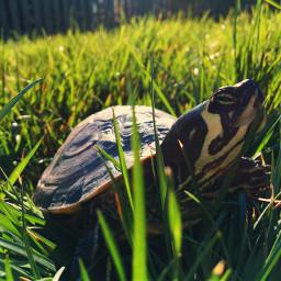 freetoedit turtle minerva grass green