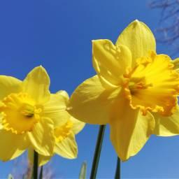 freetoedit naturephotography flowers spring narcissus