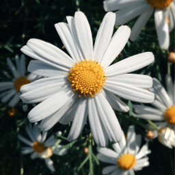 freetoedit daisies