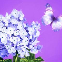 flower hydrangea pretty purple ircpurple freetoedit