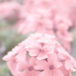 nature pinkflowers groundflowers babypink softcolors freetoedit