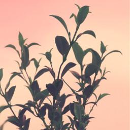 nature lateafternoon greenbuches leaves sunsetskybackground freetoedit